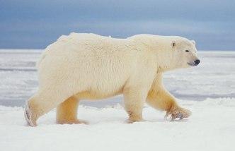 polarbear-1